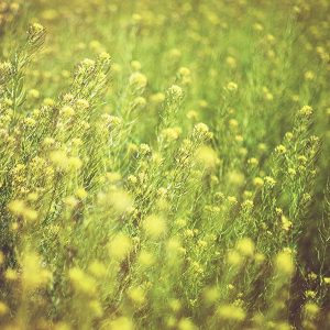 pollen ragweed