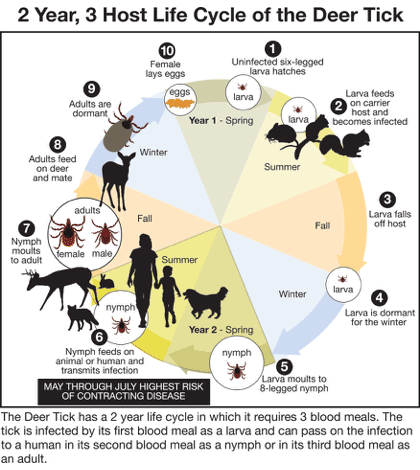 life cycle of the deer tick diagram