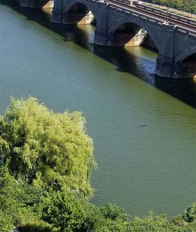 Harmful Algae Bloom (HAB) in the Charles River blue-green