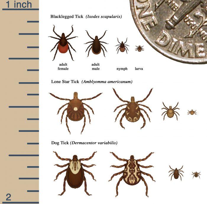 CDC chart of dangerous ticks